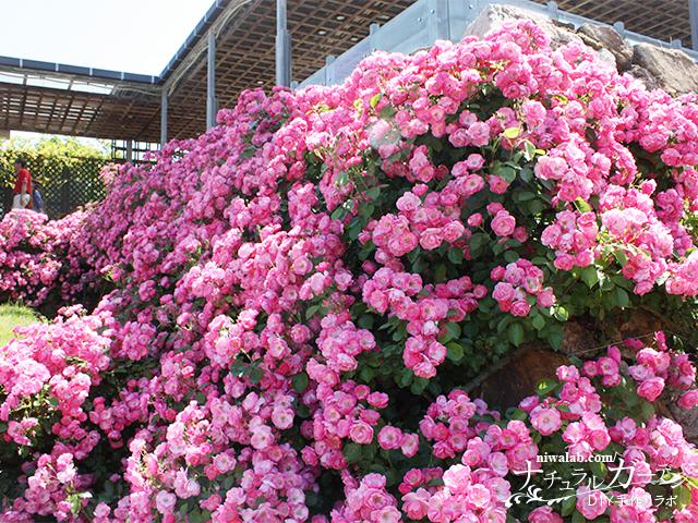 花フェスタ記念公園春のバラまつり