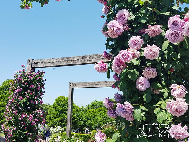 青いバラの庭