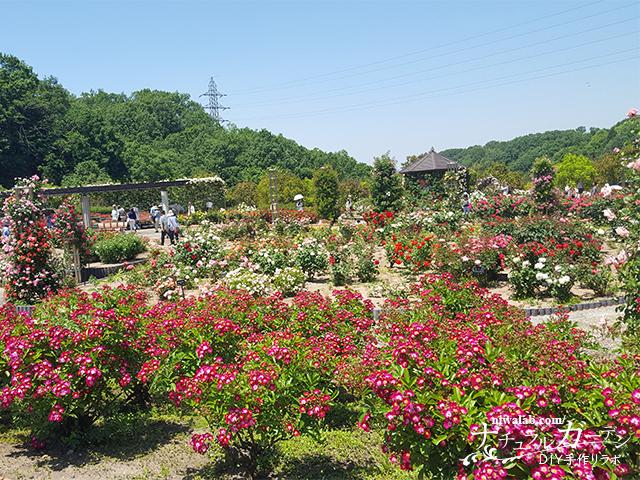 花フェスタ記念公園世界のバラ園園内