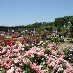 「花フェスタ記念公園春のバラまつり2019」~世界のバラ園とターシャの庭編~