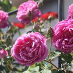 今年も良いバラに出会えました。2019年に購入したバラの種類