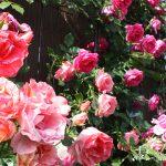 【バラの分類と系統】 バラの定義と性質を知って理想の庭を作ろう!