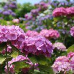 雨が似合う花No.1!梅雨の時期を彩る鮮やかなアジサイ(紫陽花)の魅力