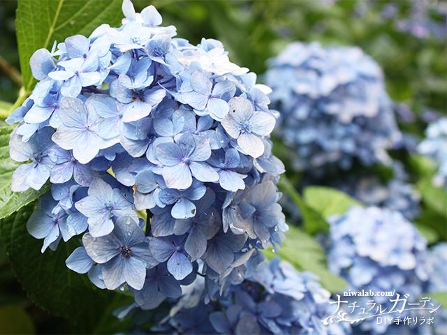 アジサイの花弁