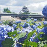 初夏の花を見に行こう!桜が有名な犀川堤(墨俣一夜城)のアジサイ