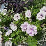 暑い季節に庭を彩る、暑さに強く夏のガーデニングにおすすめの花