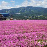 天空の花畑!大自然とペチュニアの絶景「ひるがのピクニックガーデン」