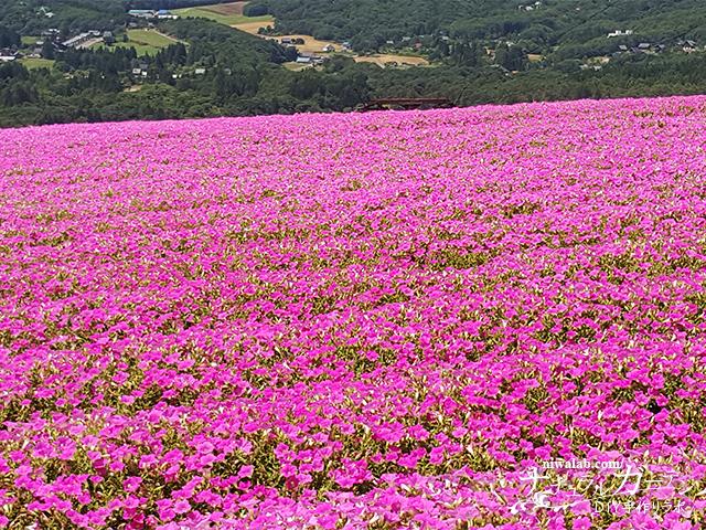 ペチュニア花畑