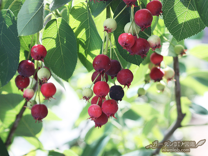 ジューンベリー赤い実