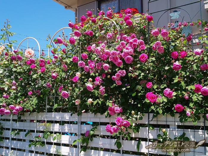 フェンスのバラ