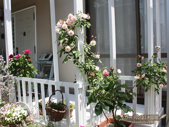 ウッドデッキのバラ