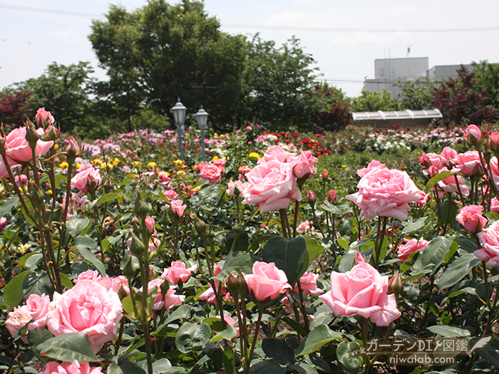 大野町バラ公園