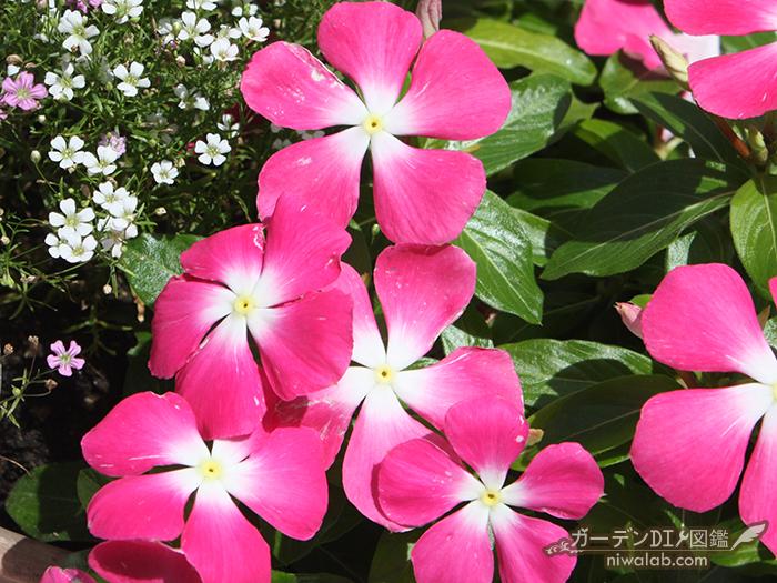 夏の花ニチニチソウ