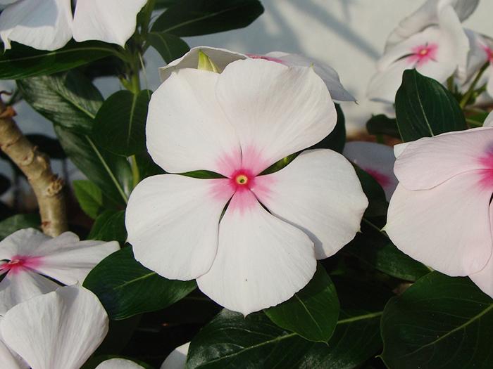 手入れ 日々草 日々草の育て方(3)花つきが良くなり病気にならない3つのコツ