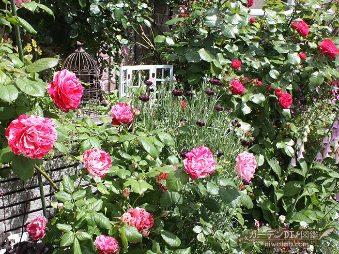 絞り咲きバラ