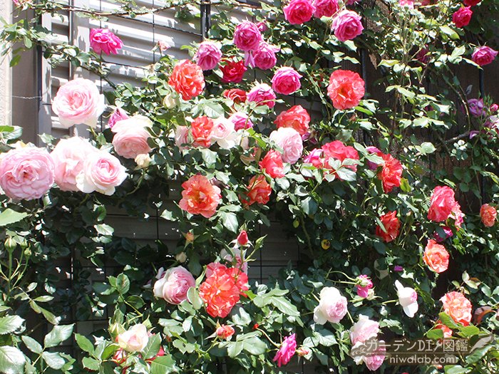 絞り咲きバラ魅力