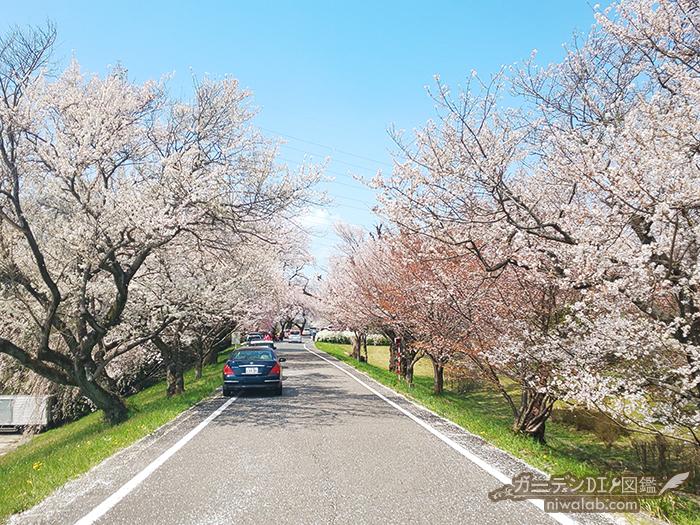 大野極楽寺公園の桜