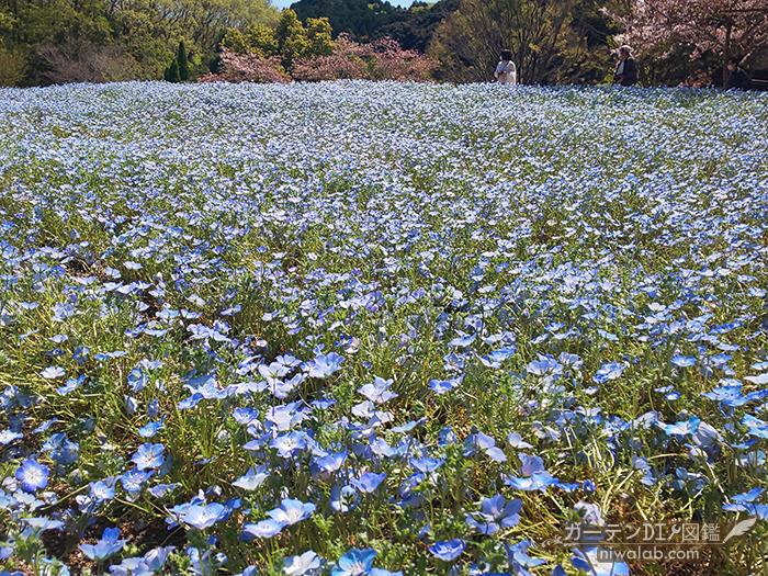 花フェスタ記念公園ネモフィラ