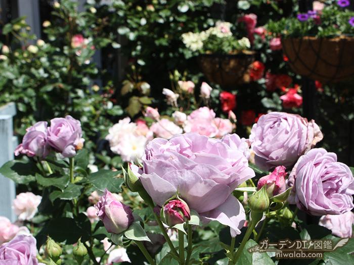 80本のバラ