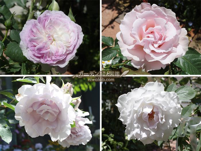 河本バラ園のバラ