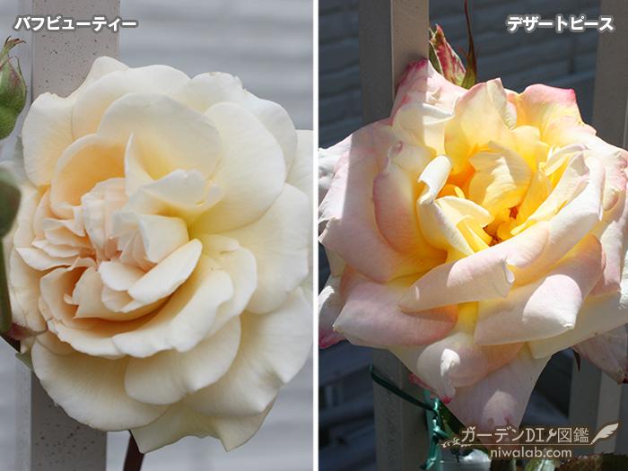 購入したバラ