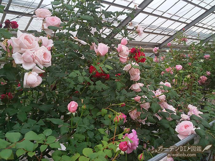 長尺つるバラ