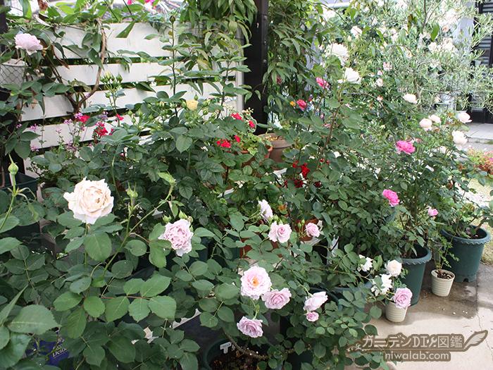 鉢植えバラ