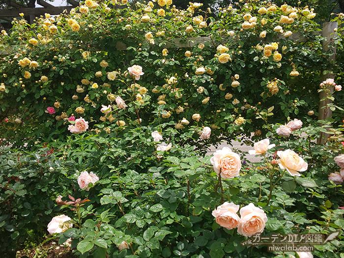 種類豊富なバラ