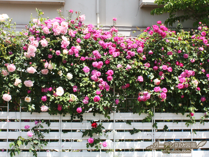 ピンク系つるバラ