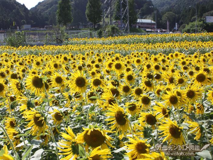 池田町ひまわり畑